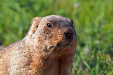 Funny,Muzzle,Groundhog,With,Fluffy,Fur,Sitting,In,A,Meadow